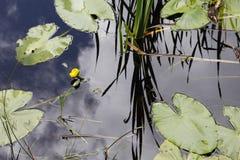 Листья Nenufar и желтый цветок Стоковая Фотография