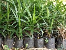 Листья Pandan стоковые изображения rf