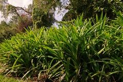 Листья Pandan Стоковое Изображение