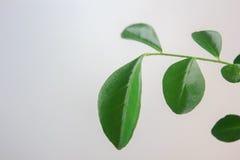Листья paniculata Murraya на белой предпосылке Стоковые Изображения RF