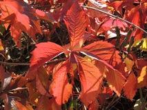 Листья Parthenocissus стоковое фото