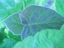 Листья Paulownia Стоковые Изображения