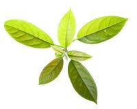 Листья Persea авокадоа Американа, пути стоковые фото