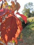 Листья quinquefolia Parthenocissus на загородке стоковое изображение rf