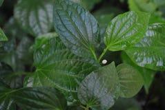 Листья sarmentosum волынщика Стоковое Изображение RF