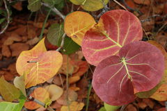 Листья Seagrape (uvifera Coccoloba) стоковое фото rf