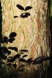 Листья silhouette на расшиве хобота сосны Лето в пуще Стоковое Изображение