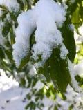 Листья Snowy Стоковые Фото