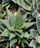 Листья succulent, деталь Стоковое Фото
