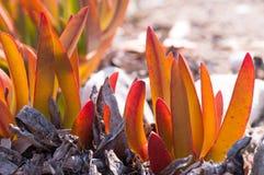 Листья succulents Стоковое Изображение