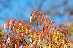 Листья sumac покрашенные в цветах осени Стоковое фото RF