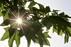 Листья Sunburst стоковые фотографии rf