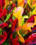 Листья ti Стоковые Фото