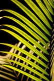 Листья trr кокоса Стоковое фото RF