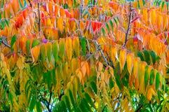Листья typhina rhus известные обыкновенно как sumac staghorn в красных, желтых и зеленых цветах Стоковая Фотография