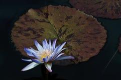 листья waterlily Стоковое Фото