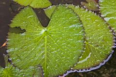 листья waterlily Стоковые Изображения