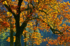 листья yosemite california осени изменяя Стоковое Фото