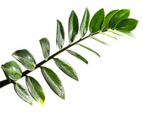 Листья Zamioculcas Zamifolia изолированные на белой предпосылке Стоковые Фотографии RF