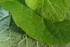 3 листь конца-вверх лопуха фронта и задней части medici Стоковая Фотография