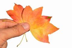 3 листь осени, по возможности семьи дерева acer, держали в левой руке зрелого мужск человека на белой предпосылке Стоковые Изображения RF