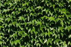 Листь-покрытая стена Стоковые Фото