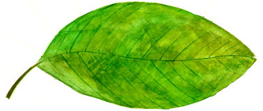 Лист акварели зеленые Стоковое Изображение