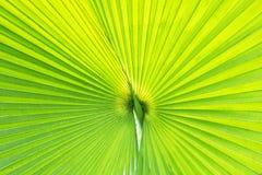 Лист ладони вентилятора Стоковые Фото
