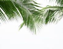 Лист ладони кокоса изолированные на белой предпосылке Стоковое фото RF
