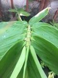 Лист бамбука Spp Dendrocalamus Стоковая Фотография RF