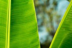 Лист банана, листья бананового дерева текстурировали абстрактную предпосылку Стоковое Изображение