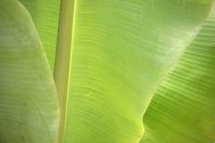 Лист банана крупного плана свежие зеленые Стоковые Изображения RF