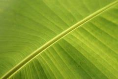 Лист банана крупного плана свежие зеленые Стоковое Фото