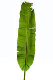 Лист банана на белизне Стоковая Фотография RF