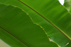Лист банана на дереве Стоковое Изображение