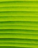 Лист банана текстурируют показывать естественную вену, крупный план, вертикальный. Стоковая Фотография