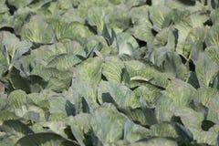 Лист белой капусты Стоковые Изображения