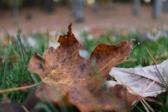 Лист Брайна в травянистой лужайке Стоковые Фотографии RF