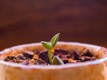 Лист бутона небольшого суккулентного завода растя на гравии laterite стоковые фото