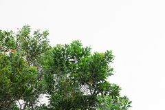 Лист ветви дерева красивые в лесе на белой предпосылке стоп дня мировой окружающей среды концепции разрушает лес стоковые фото