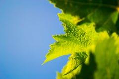 Лист виноградины с капельками Стоковое Фото