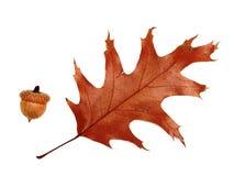 Лист высушенные осенью дуба и жолудя Стоковая Фотография