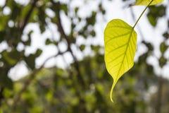 Лист в свете Стоковое фото RF