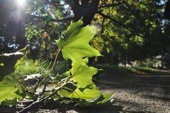 Лист в Солнце Стоковые Изображения RF