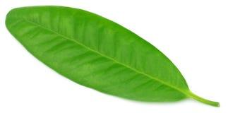 Лист гвоздичного дерева Стоковые Изображения
