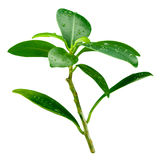 Лист гранатового дерева. Разветвите при падения изолированные на белизне Стоковое Изображение RF