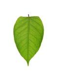 Лист груши Стоковое Изображение