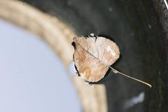 Лист дерева тополя формы сердца сухие на bac падения поверхности колодезной воды Стоковая Фотография