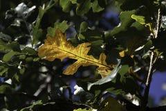 Лист дуба Брайна на ветви среди зеленых листьев дуба Стоковая Фотография