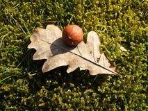 Лист дуба с бичем, Литвой стоковая фотография